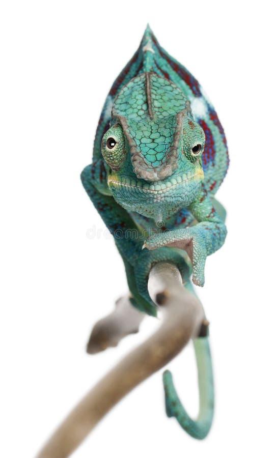 var pardalis för panter för kameleontfurcifer nyfikna royaltyfri bild