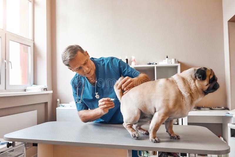 Var tålmodig, behaga! Mitt åldrades den manliga veterinären mäter kroppstemperatur av en mops på den veterinär- kliniken royaltyfri foto
