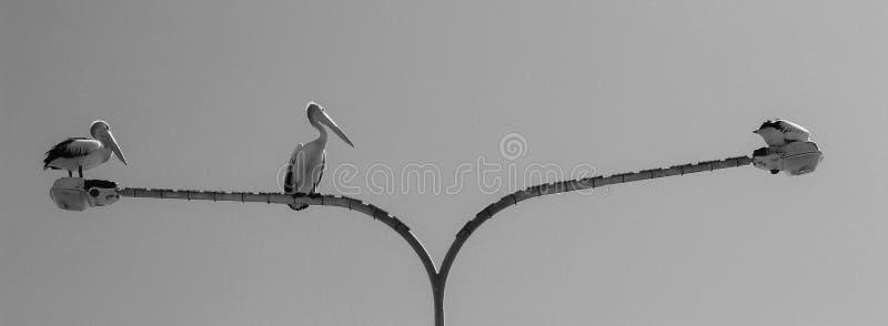 Vara BNW do pelicano imagens de stock