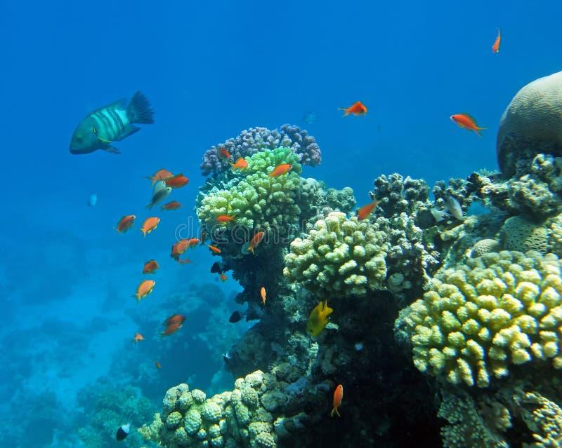 Vara do coral vermelho imagens de stock royalty free