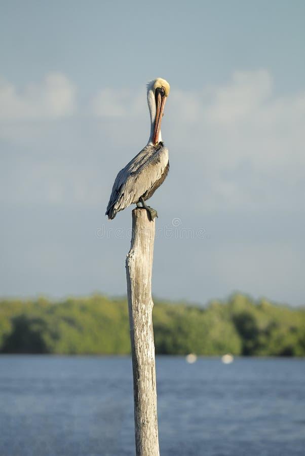 Download Pelicano de Brown imagem de stock. Imagem de selvagem - 29833269