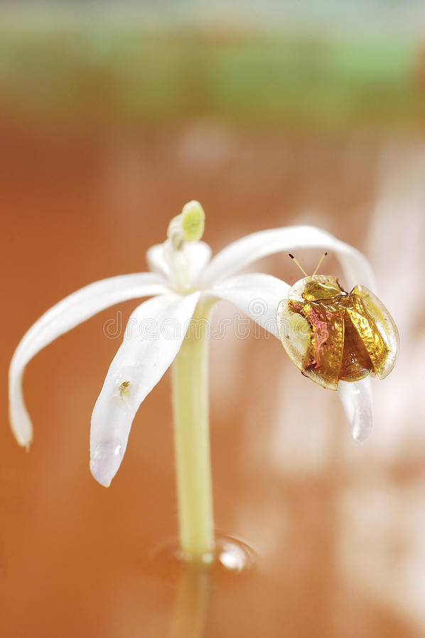 Download Vara Dourada Do Besouro Sobre Foto de Stock - Imagem de tartaruga, flor: 26511772