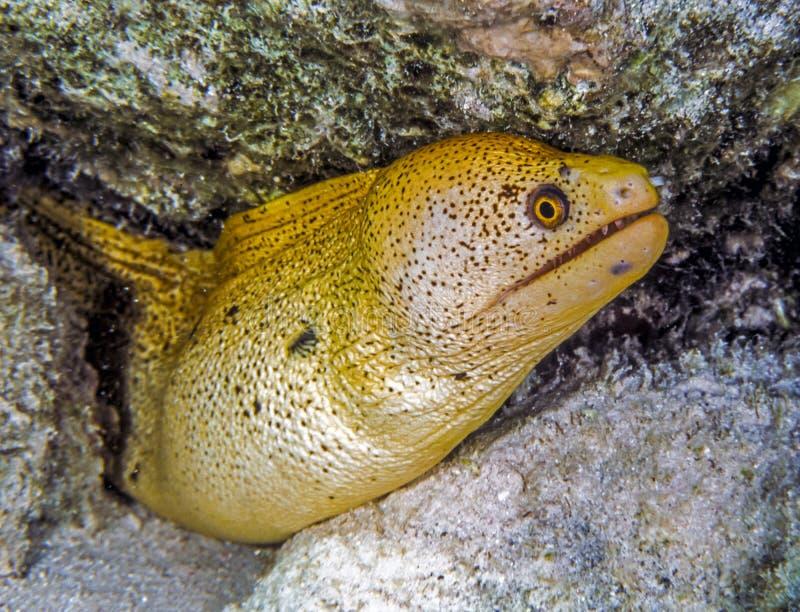 Vara dourada do Moray no recife de corais imagens de stock royalty free