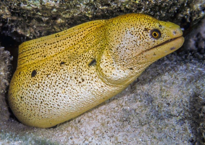 Vara dourada do Moray no recife de corais fotos de stock