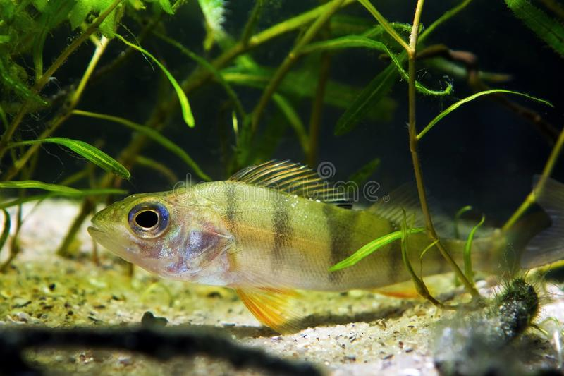 Vara europeia, peixe predador do coldwater, fluviatilis do Perca, escondendo nas plantas no aquário moderado do biótopo da nature foto de stock