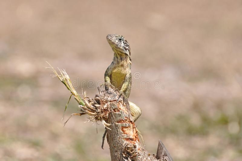 Download Varadero Lizard stock photo. Image of lizard, sitting - 15325120