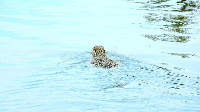 Varan在水中游泳 免版税库存照片