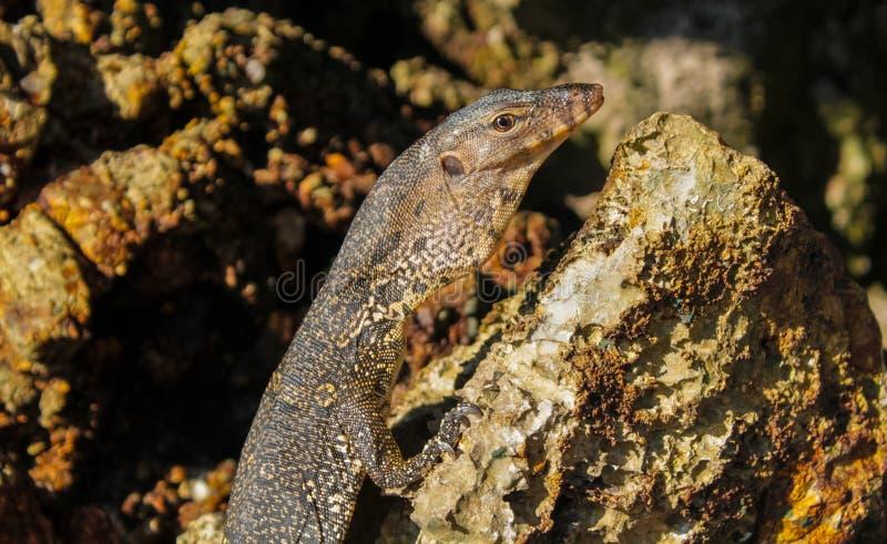 Varan在石头的显示器爬行动物在狂放的自然 库存照片