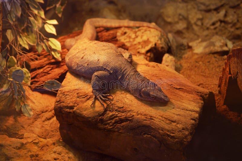 Varan resting in a terrarium royalty free stock photos