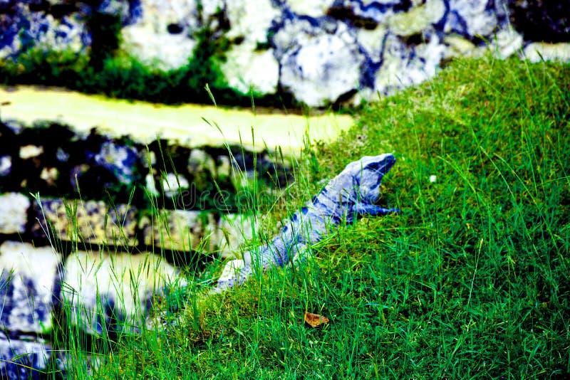 Varan steht auf dem Gras still stockbild
