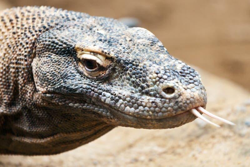 Varan Varanus komodoensis, Komodo smok/, zoologiczny ogród, Troja okręg, Praga, Czeski republi fotografia royalty free