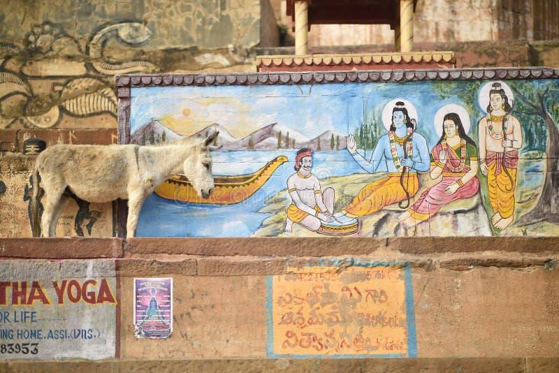 Varanasi, India, Listopad 26, 2017: Osła odprowadzenie obrazy stock