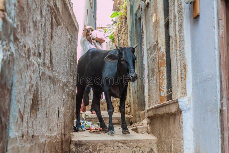 VARANASI, INDIEN - 25. OKTOBER 2016: Kuh bleibt in einer schmalen Gasse in Varanasi, Ind lizenzfreies stockbild