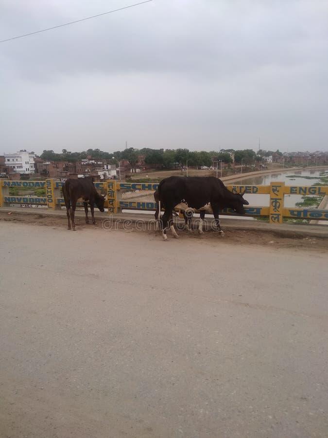 Varanasi Varuna rzeka i tylna krowa fotografia royalty free
