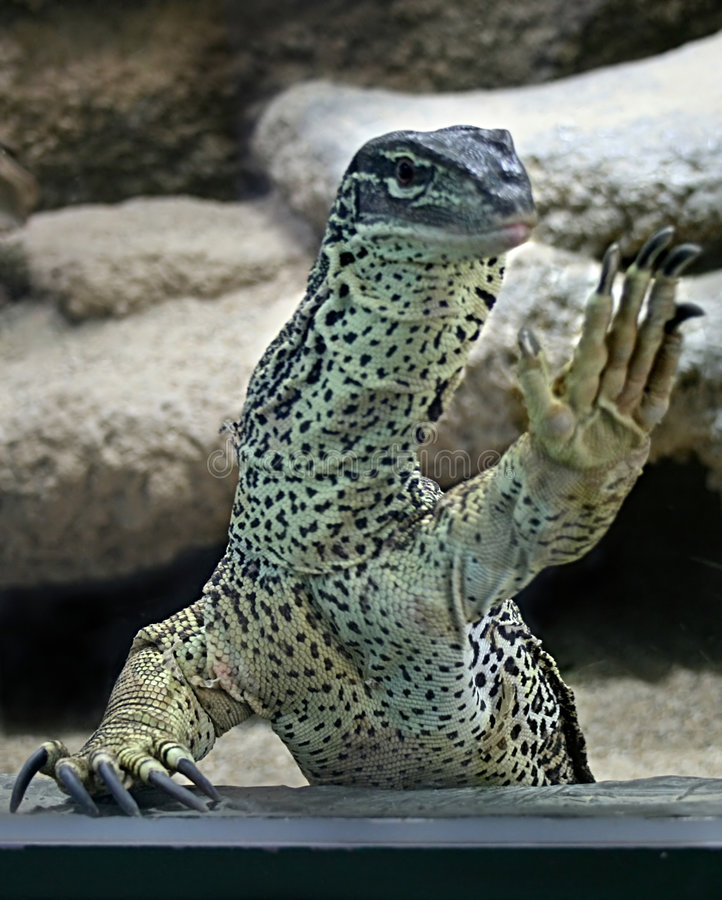 Varanus. Monitor lizard in terrarium zoo royalty free stock photo