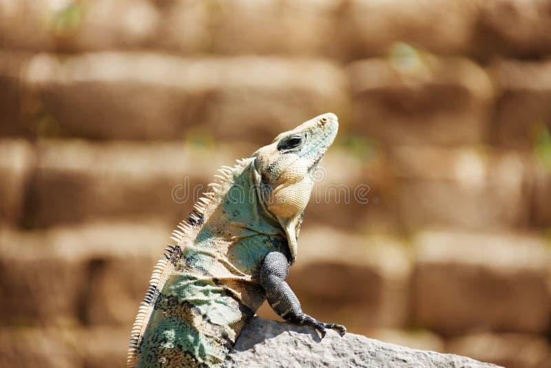 Varanus, der auf dem Stein, Chichen Itza, Mexiko sitzt lizenzfreie stockbilder