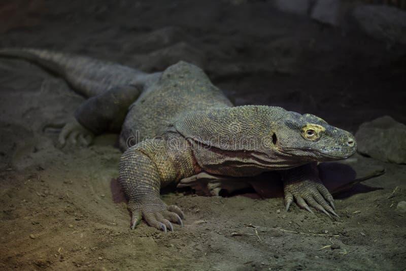 Varanus Komodoensis дракона Komodo стоковое фото
