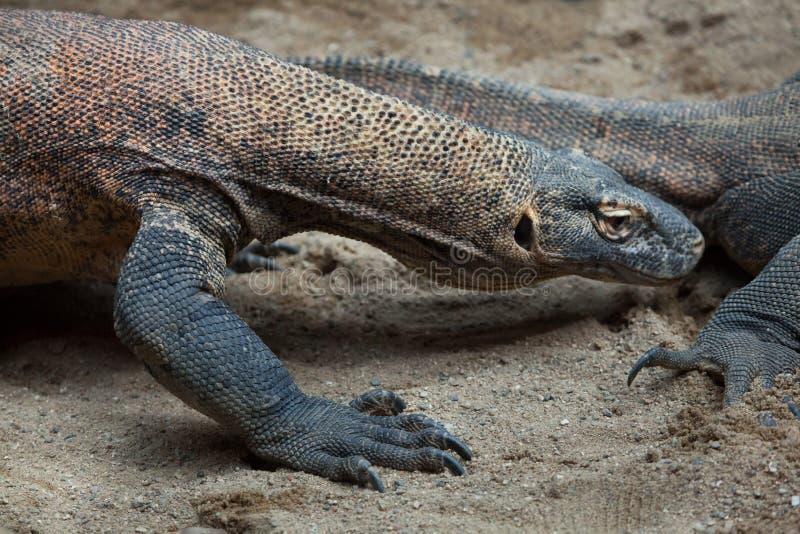 varanus komodoensis komodo дракона стоковое изображение