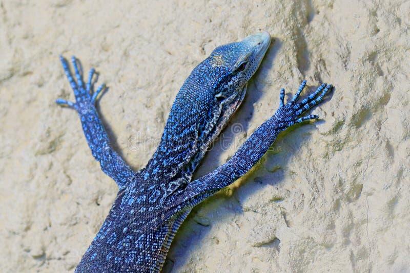 Varanusmacraei, blauwe boommonitor, hagedis vond op het eiland van in Indonesië Monitor dichtbij de rivier Het wildscène van aard stock afbeeldingen