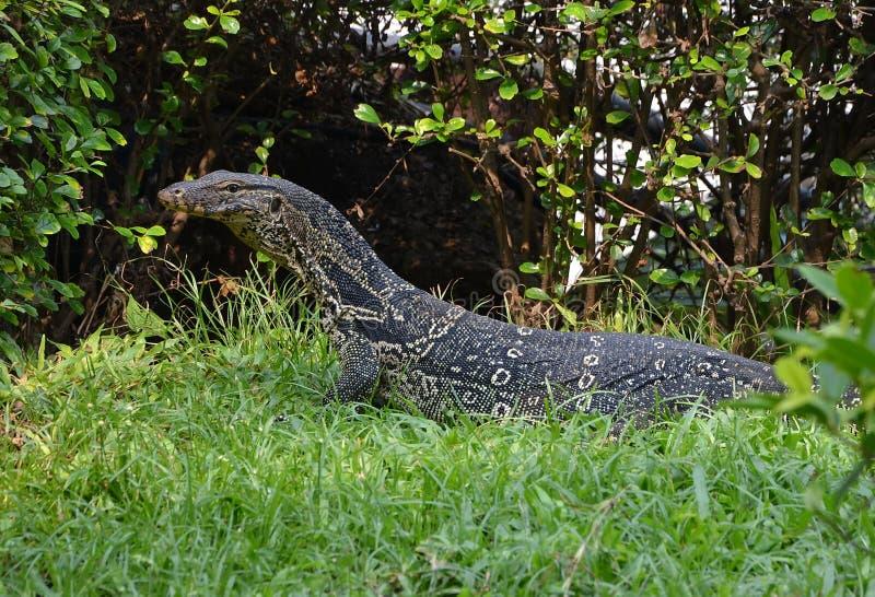 Varanussalvator royaltyfri foto