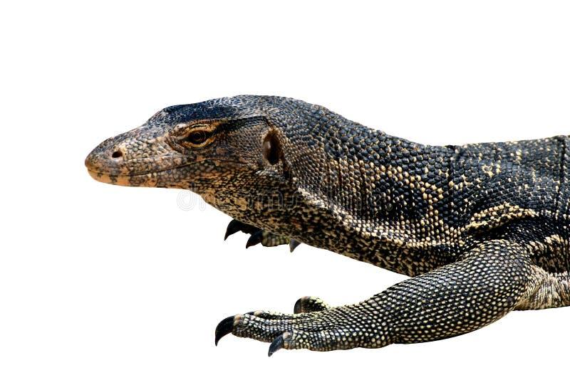 Varanussalvator, asiat för bildskärm för Varanusbengalesisvatten som isoleras på vit bakgrund fotografering för bildbyråer