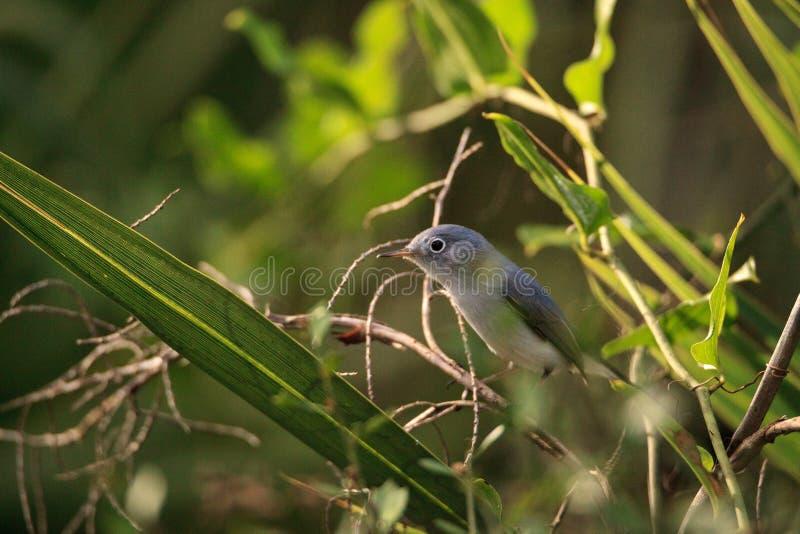 Varas azuis do caerulea de Gray Gnatcatcher Polioptila na escova imagem de stock royalty free