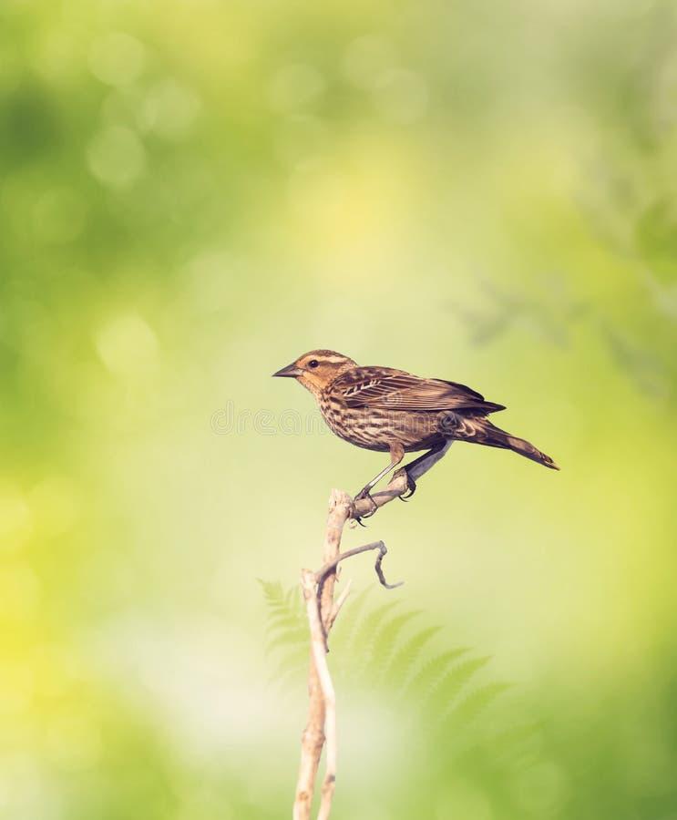 Varas do pássaro de Brown foto de stock royalty free