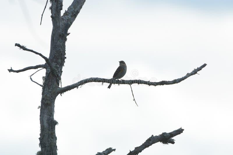 Varas pequenas do pássaro da música em um membro de árvore inoperante no pântano da ilha foto de stock