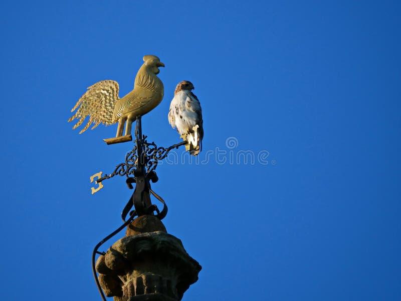 Varas vermelhas do falcão da cauda em uma aleta de tempo foto de stock royalty free