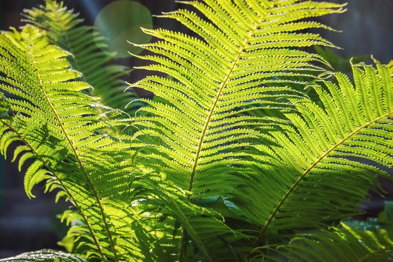 Varen het unfurling in de lente met vage achtergrond, zonlicht Gevoelige groene natuurlijke achtergrond, varenspruiten Polypodiop stock foto's