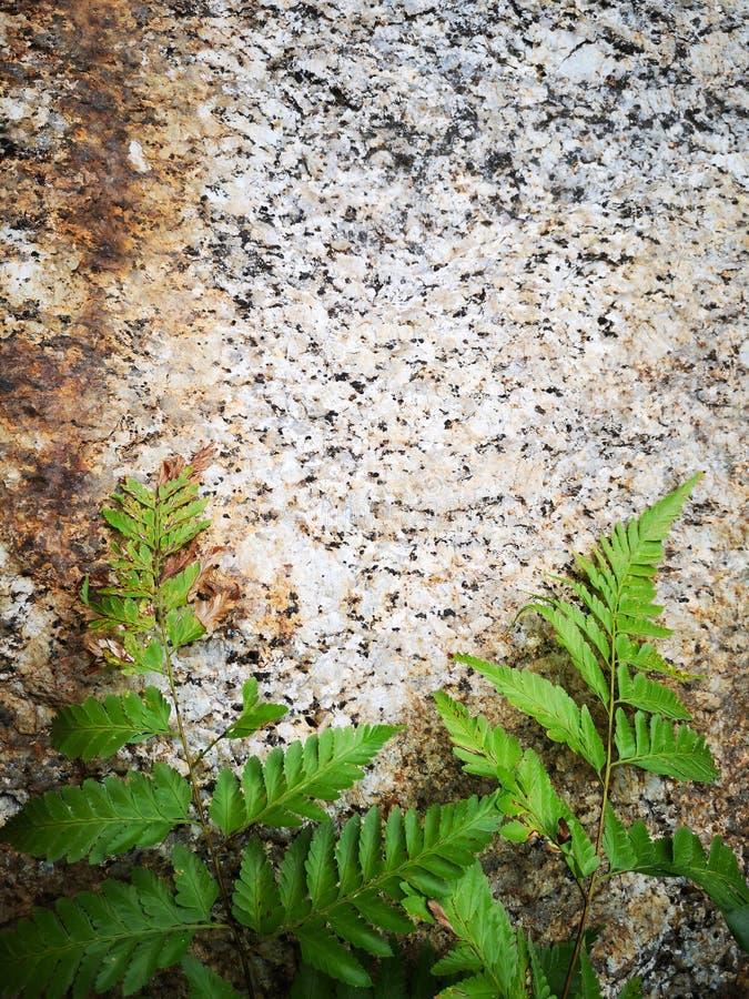 Varenachtigen fern†‹green†‹leaves†‹plantae†‹ stock foto