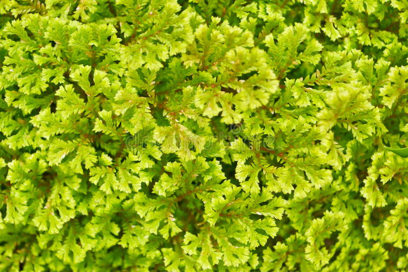 Varenbladeren (Varenachtigen) stock fotografie