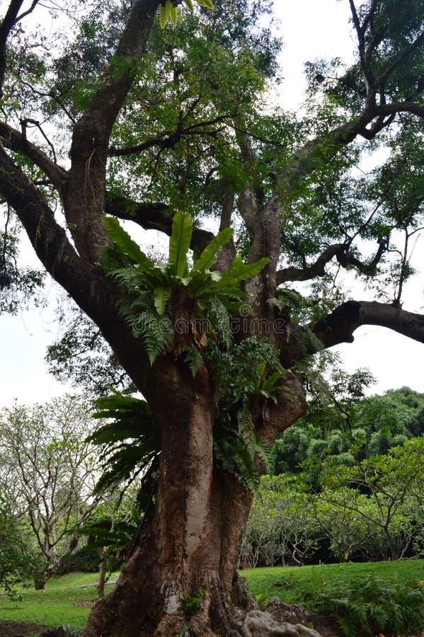 Varens die op bomen bij de Botanische Tuinen van Singapore groeien stock afbeelding