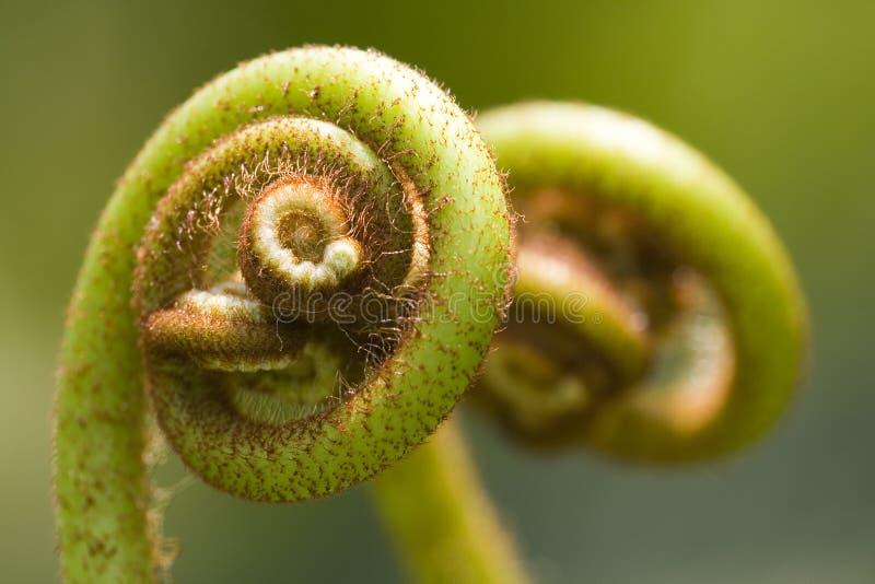 Varens (Pteridophyte) stock foto