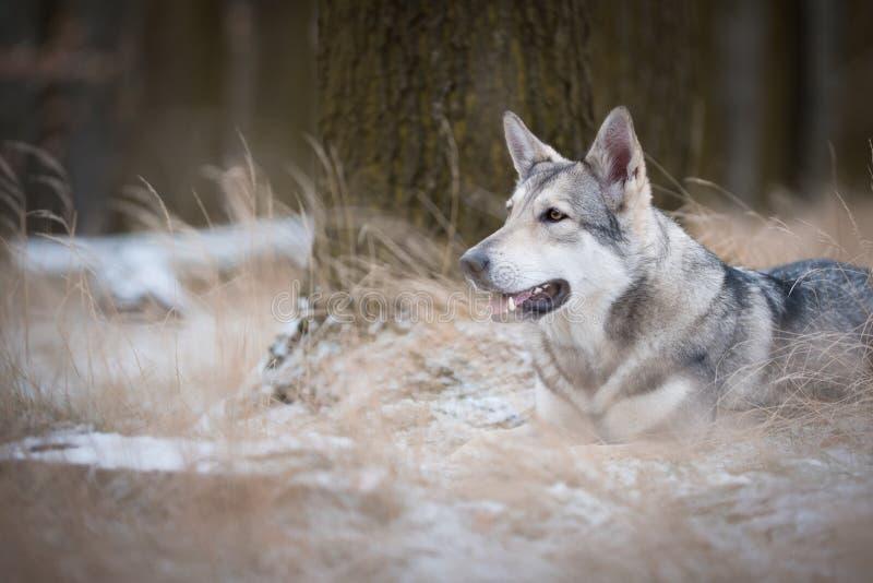 Download Varg I Mest Forrest I Vinter Arkivfoto - Bild av jakt, rovdjur: 106837342