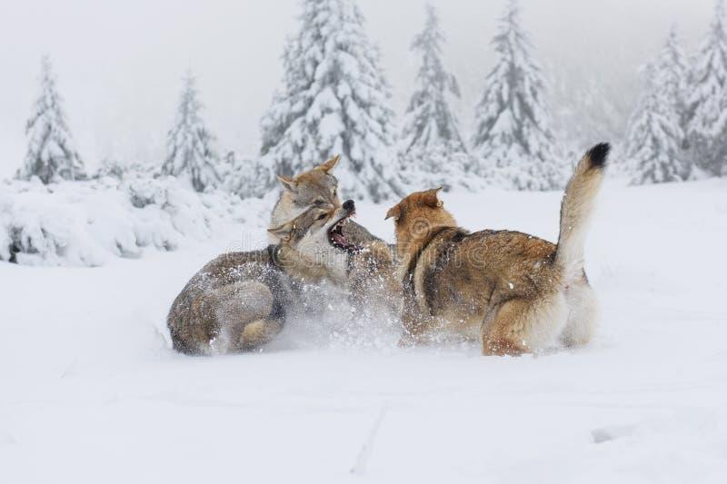Varg i ny snö arkivfoton