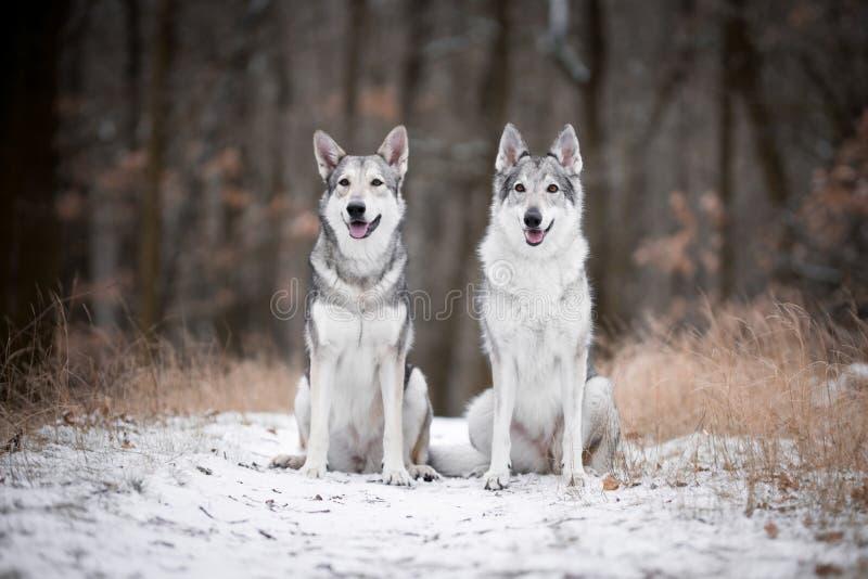 Download Varger I Mest Forrest I Vinter Arkivfoto - Bild av djurliv, skog: 106837266