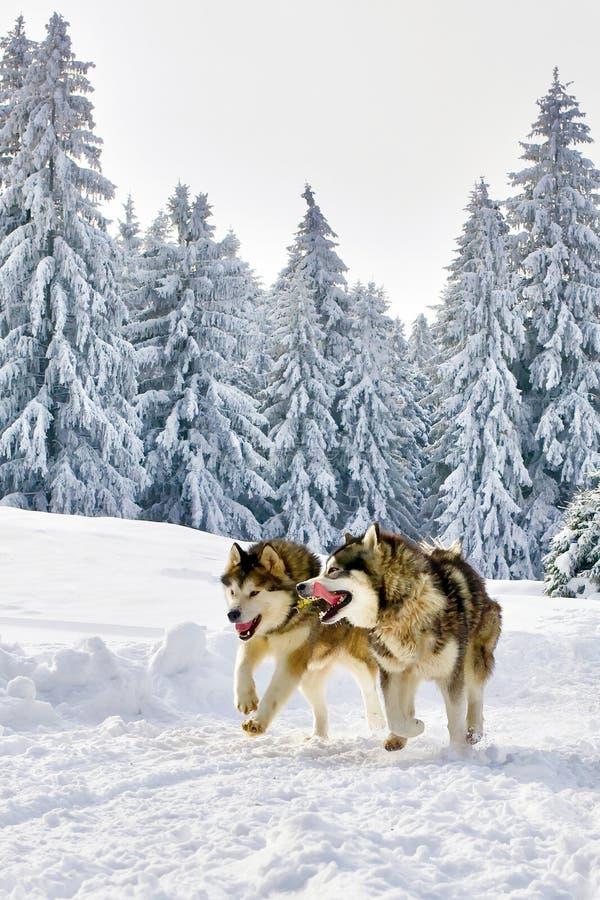 Varger som kör i snöig skog för lös vinter royaltyfria bilder