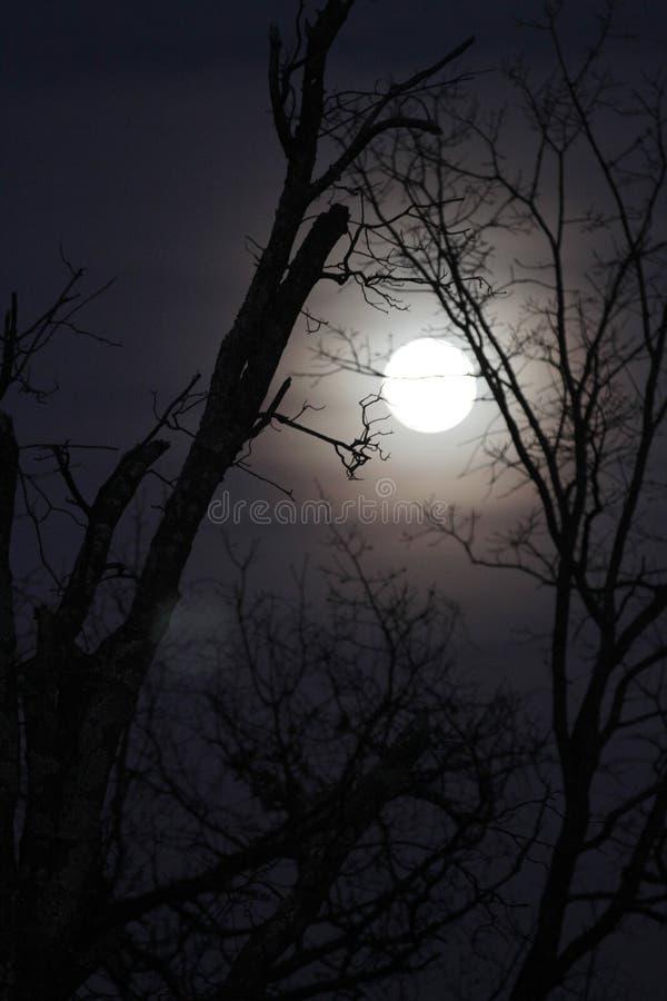 Vargmåne med kala filialer, vertikal bild fotografering för bildbyråer
