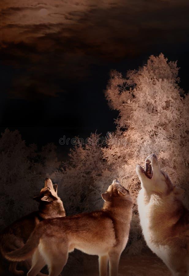 Vargnattsång i vinterskogen royaltyfria bilder