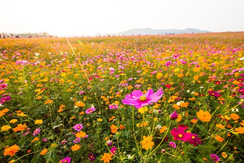 Variété de bipinnatus de cosmos de différentes fleurs colorées comme course dominante qui assez bien image libre de droits