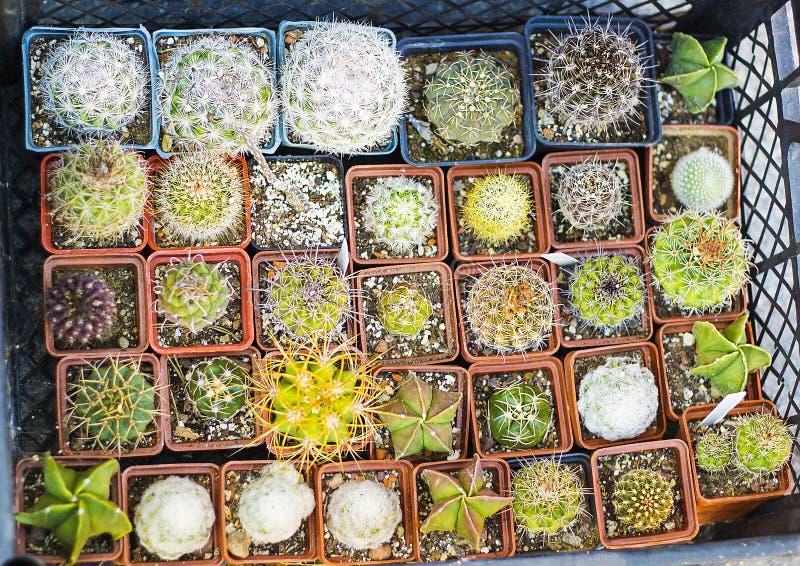 Variété de cactus et de succulents dans la vue supérieure de pots image stock
