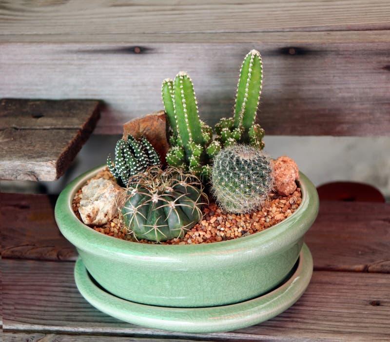 Variété de cactus minuscule dans un pot vert sur la table en bois image stock