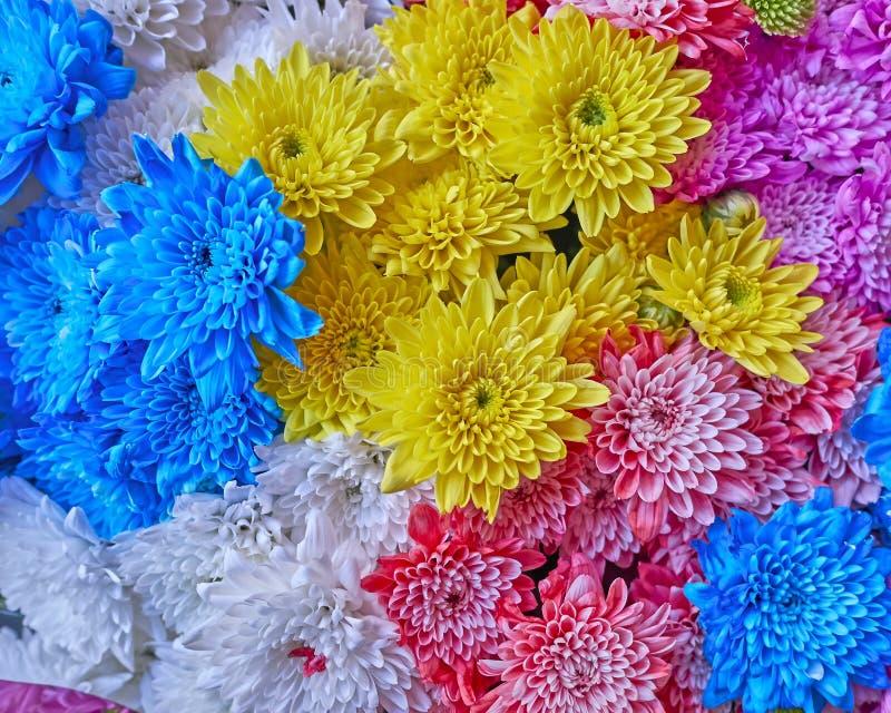 Variété de chrysanthèmes colorés image libre de droits