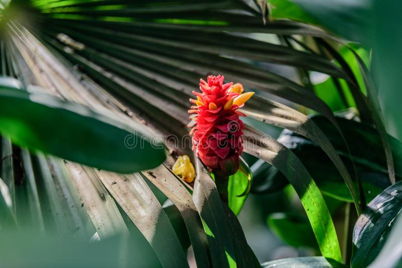 Variété de Costus Comosus Bakeri - usine photo stock