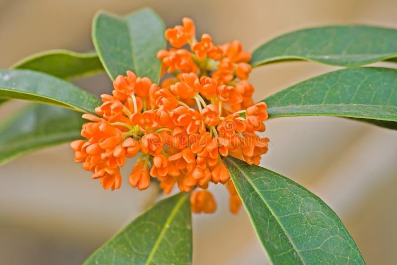 Variété de fragrans d'Osmanthus aurantiacus photo stock
