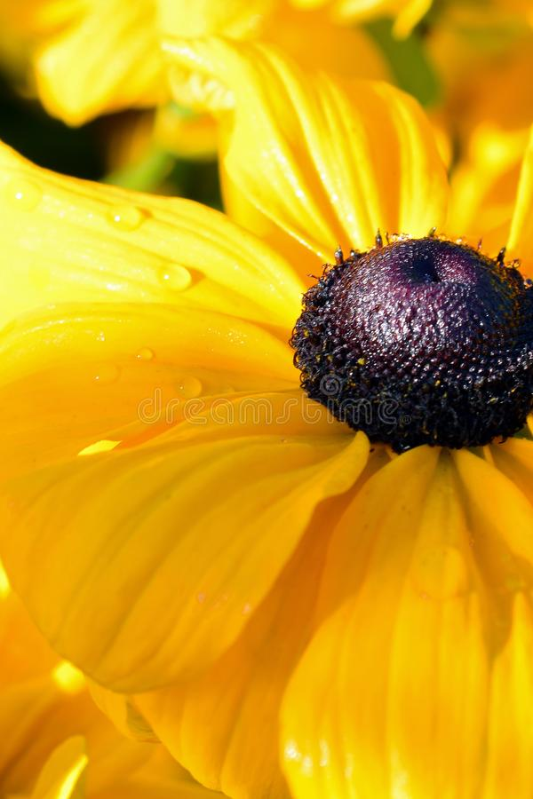 Variété de hirta de Rudbeckia fleur jaune de pulcherrima Susan observée par noir généralement appelée images libres de droits