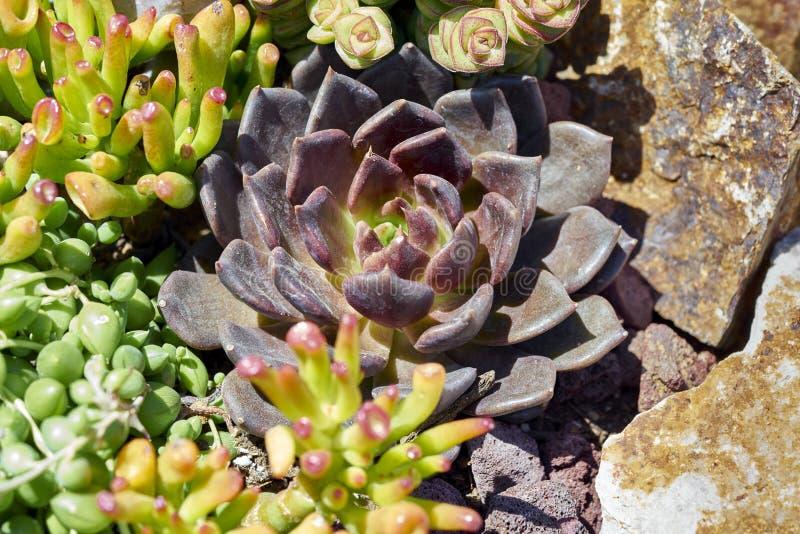 Variété de succulents dans un environnement sécheresse-tolérant photographie stock libre de droits