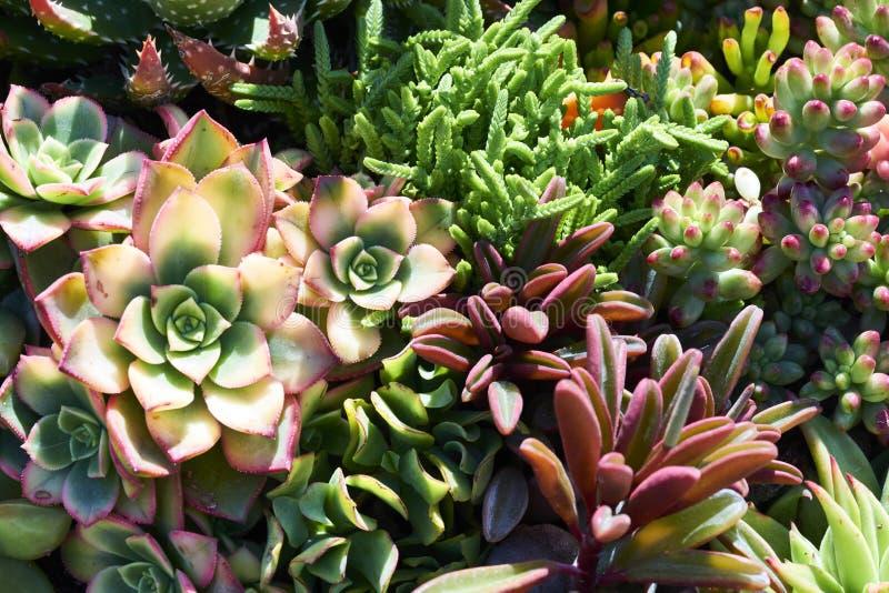 Variété de succulents dans un environnement sécheresse-tolérant photos libres de droits