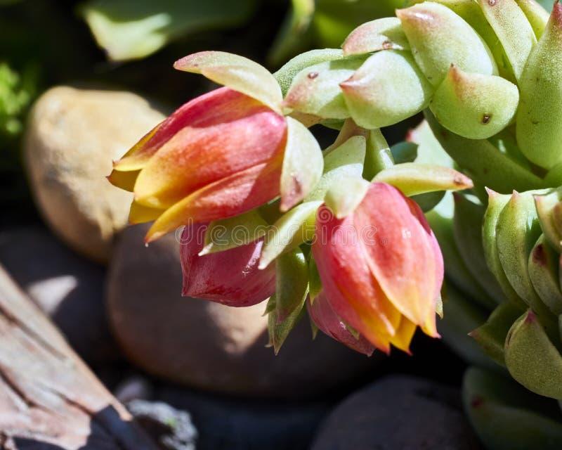 Variété de succulents dans un environnement sécheresse-tolérant images stock